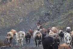 Immer wieder Kuhherden auf dem Weg